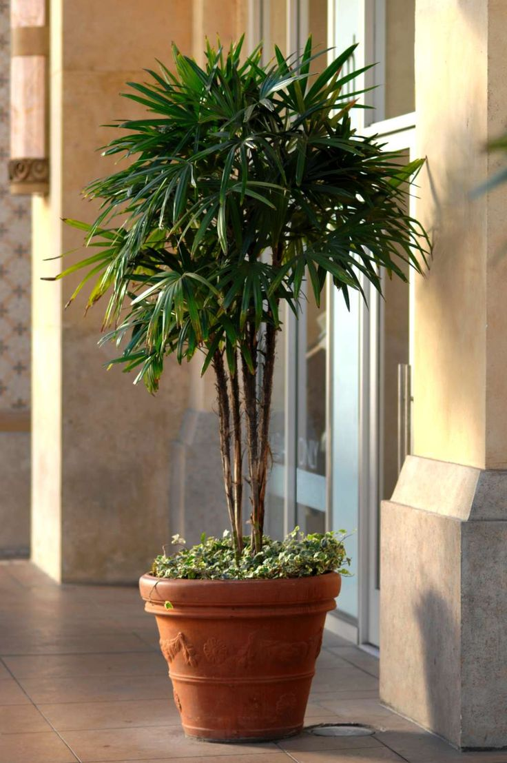 Potted Trees For Outdoors Outdoor Designs   Patio Trees In Containers    Patio Designs