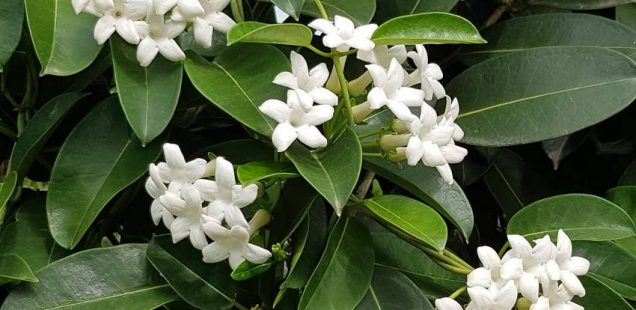 How to Care for Madagascar Jasmine